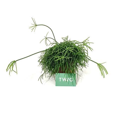 Plant - Mistletoe cactus
