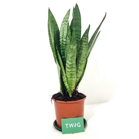 Plant - Sansevieria Zeylancia