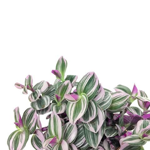 Plant - Tradescantia nanouk