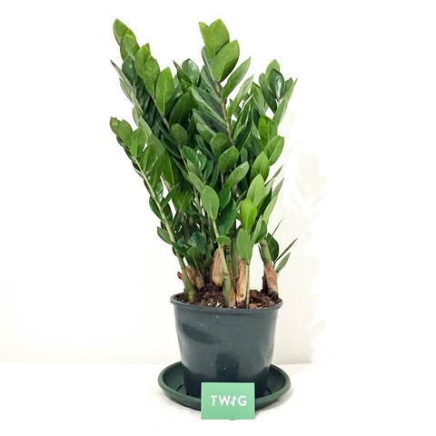 Plant - ZZ Plant