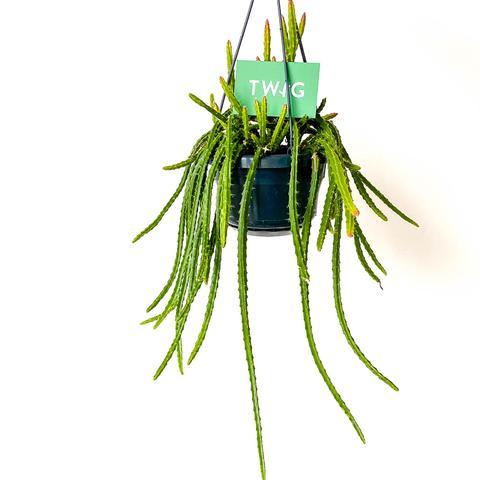 Plant - Aporocactus 'Melanie'
