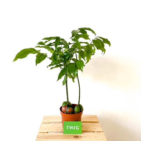 Plant - Moreton Bay Chestnut