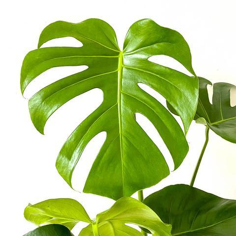 Plant - Monstera Deliciosa