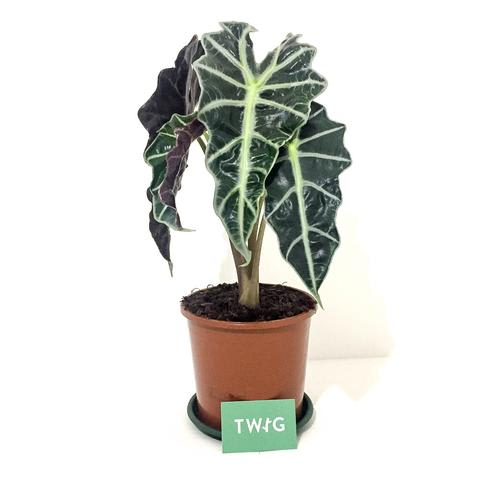 Plant - Alocasia 'African Mask'