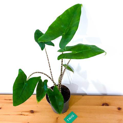 Alocasia Zebriana