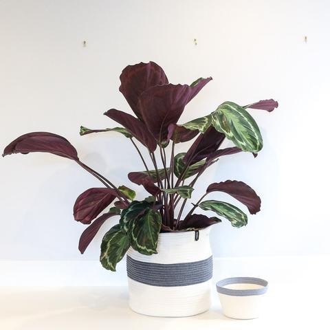Twig Plants and Pots - Giant concrete indoor plant pot