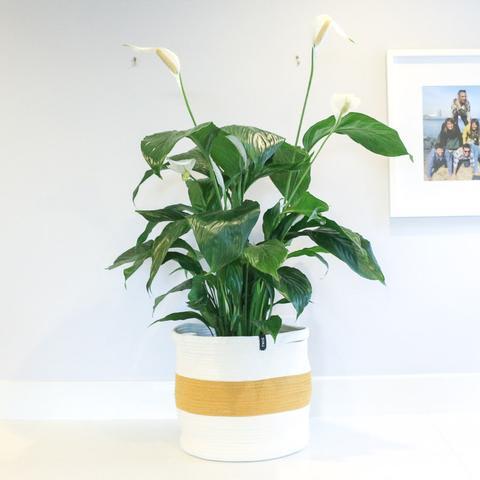 Twig Plants and Pots - Sesame concrete indoor plant pot
