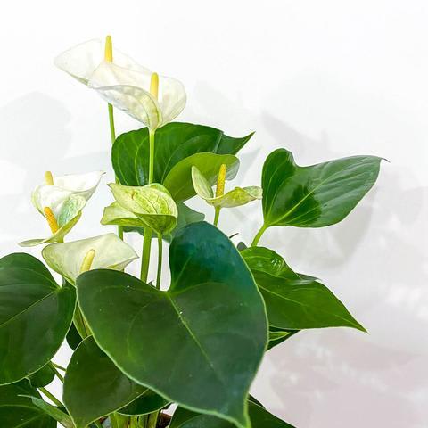 Anthurium (White)