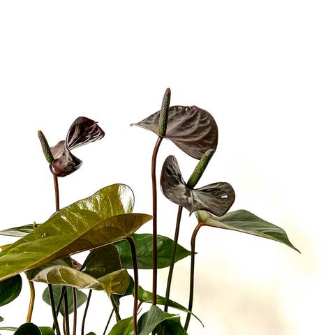 Plant - Anthurium Black Love