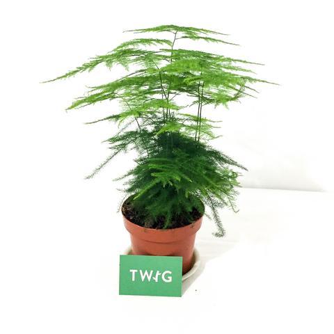 Plant - Asparagus Fern
