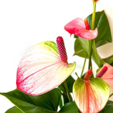 Plant - Anthurium 'Princess'
