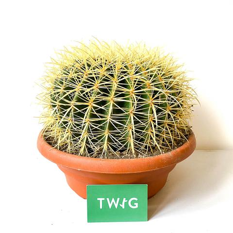 Plant - Golden Barrel Cactus