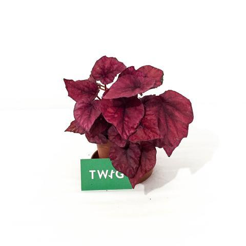 Plant - Begonia Beleaf varied
