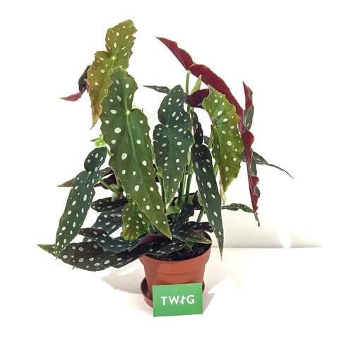 Plant - Begonia Maculata