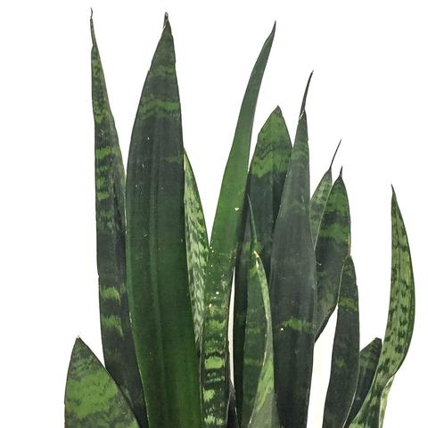 Plant - Sanservieria 'Black Coral'