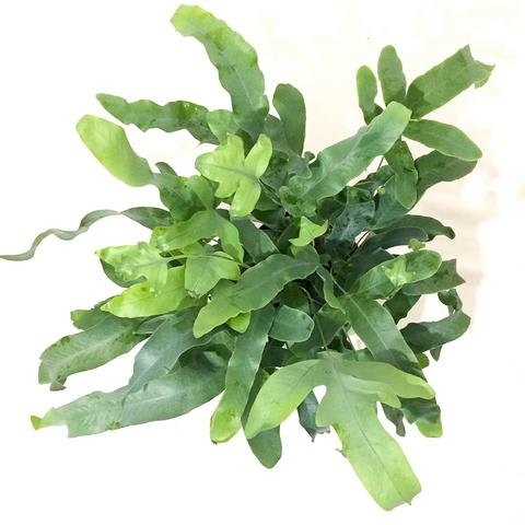 Plant - Blue Star Fern
