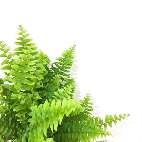 Plant - Boston Fern