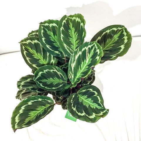 Plant - Calathea Medallion