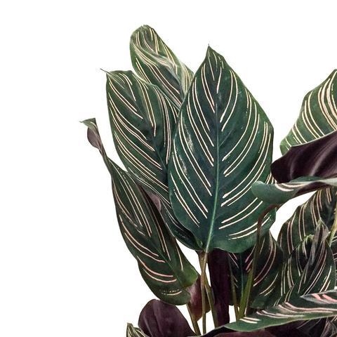 Plant - Calathea Ornata Sanderiana