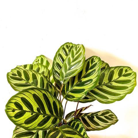 Plant - Calathea Makoyana