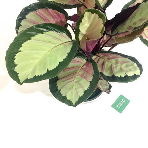 Plant - Calathea 'Silver Pink'