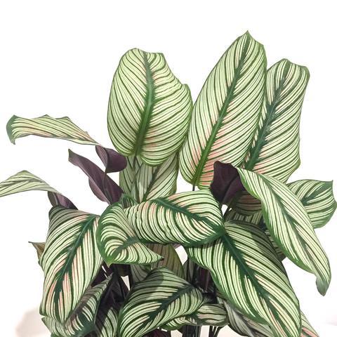 Plant - Calathea 'White star'