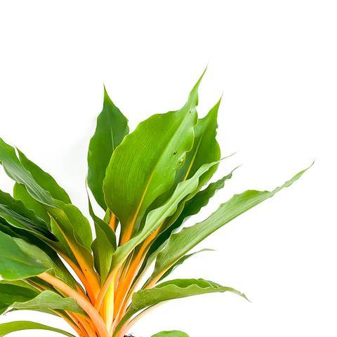 Plant - Chlorophytum Green Orange