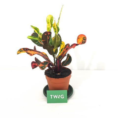 Plant - Croton Mammy