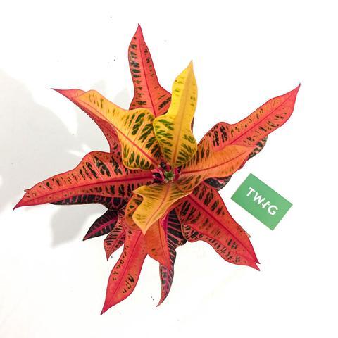 Plant - Croton Nervia
