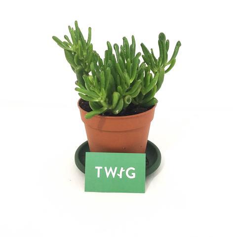 Plant - Crassula 'Gollum' - Jade Plant