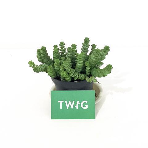 Plant - Crassula Hottentot
