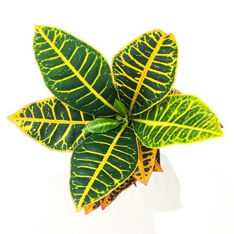 Plant - Croton Petra