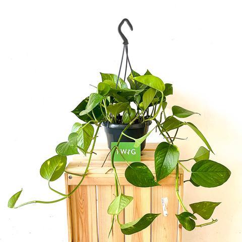 Plant - Devil's Ivy