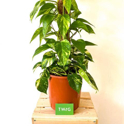 Plant - Devil's Ivy on Moss Stick