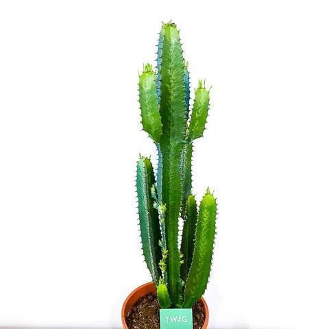 Euphorbia Acrurensis