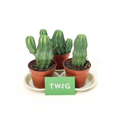 Plant - Euphorbia Cactus