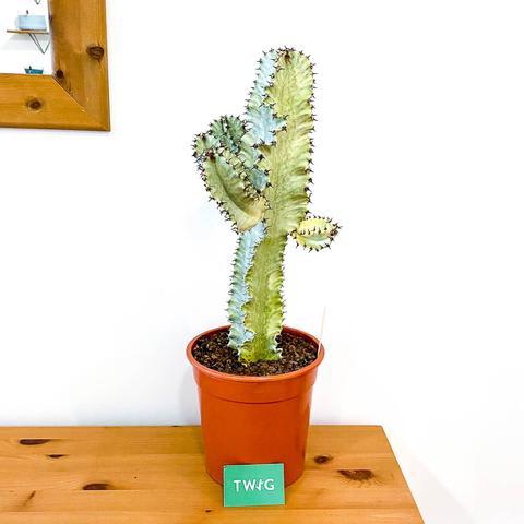Euphorbia 'Ghost'
