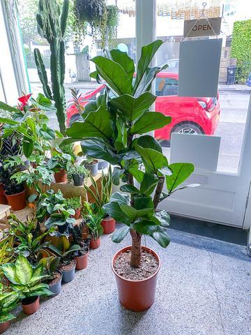 Ficus Lyrata Tree