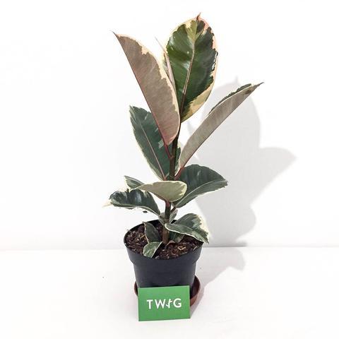 Plant - Rubber Plant