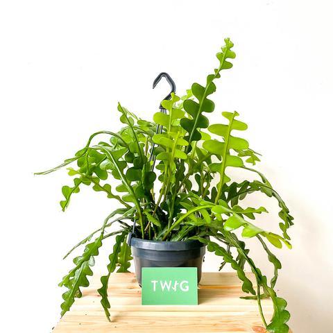 Plant - Fishbone Cactus