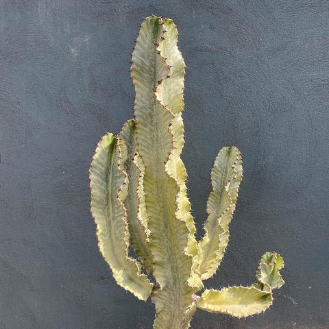 Plant - Euphorbia 'Ghost'
