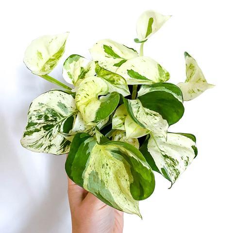 Happy Leaf Pothos