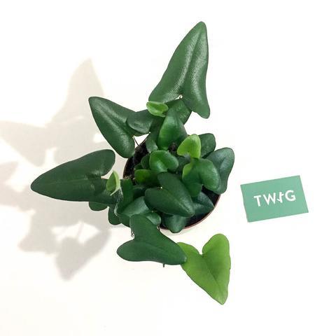 Plant - Heart Leaf Fern