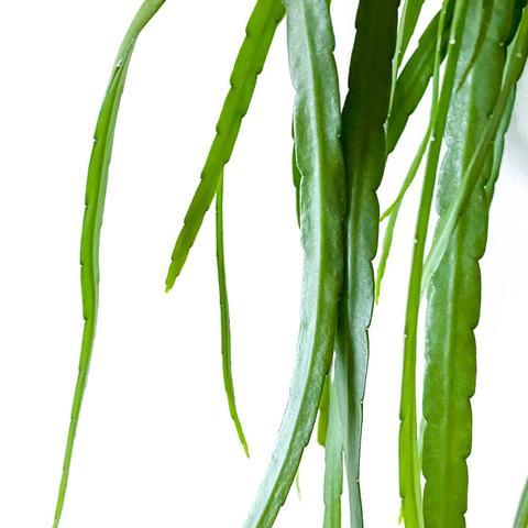 Lepisium Bolivianum