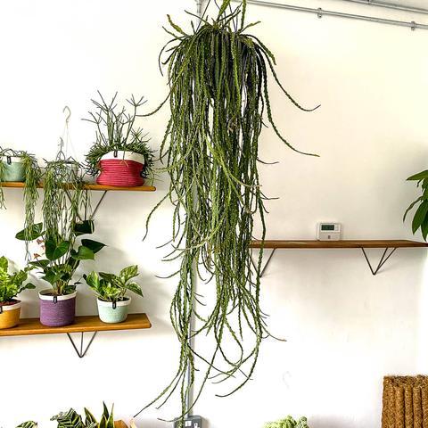 Plant - Lepisium Cruciforme
