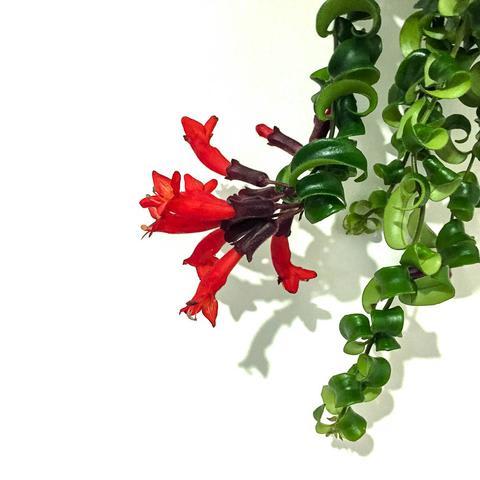 Plant - Lipstick Plant