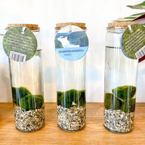 Marimo Moss Ball in Glass Vase