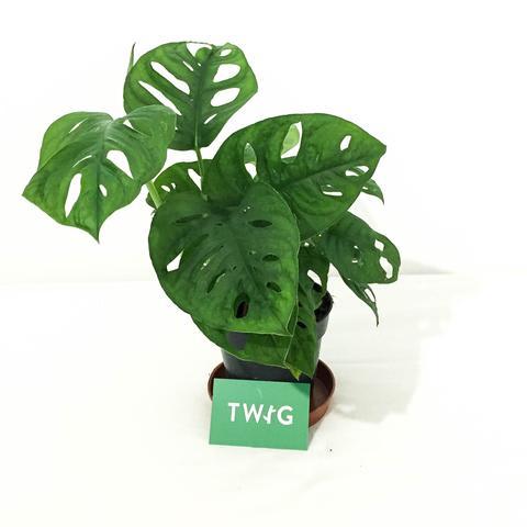 Plant - Monkey Leaf Monstera