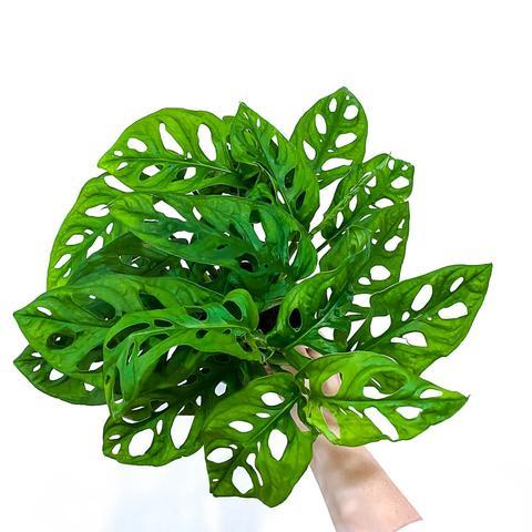 Plant - Monstera Obliqa
