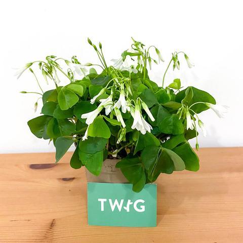 Plant - Oxalis 'green'